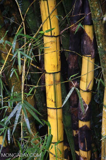 Giant bamboo [costa-rica-d_0058]