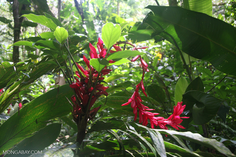 Magenta ginger flowers