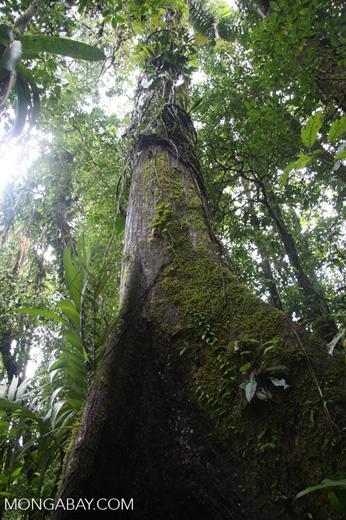Giant rainforest tree [costa-rica-d_0151]
