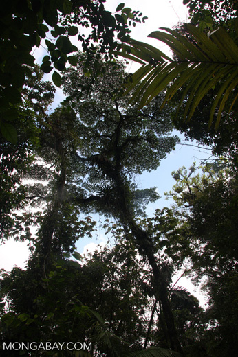 Looking up at the rainforest canopy