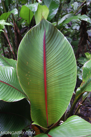 Green and magenta rainforest shrub