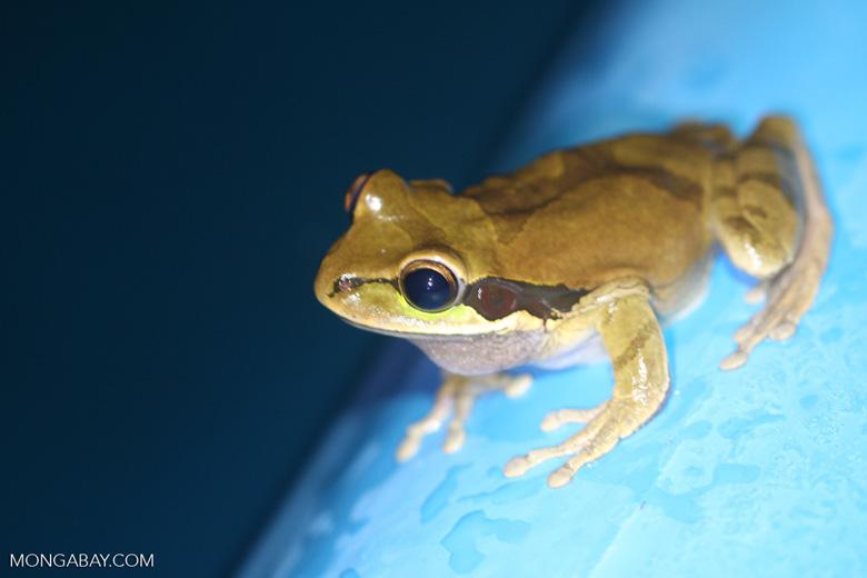 Masked frog (Smilisca phaeota) [costa-rica-d_0369]