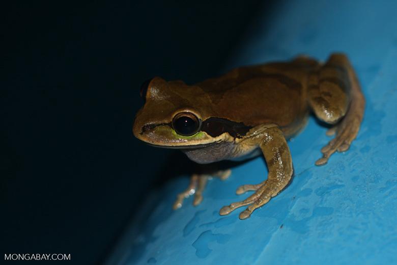 Masked frog (Smilisca phaeota)