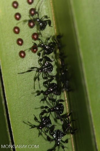 Leaf-footed Bugs (family Coreidae) resembling the creature from the movie alien next to their eggs [costa-rica-d_0383]