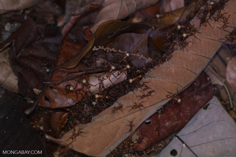 Army ant column
