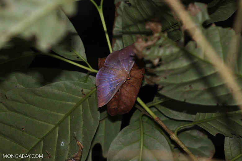 Dark gray moth with blue iridescence