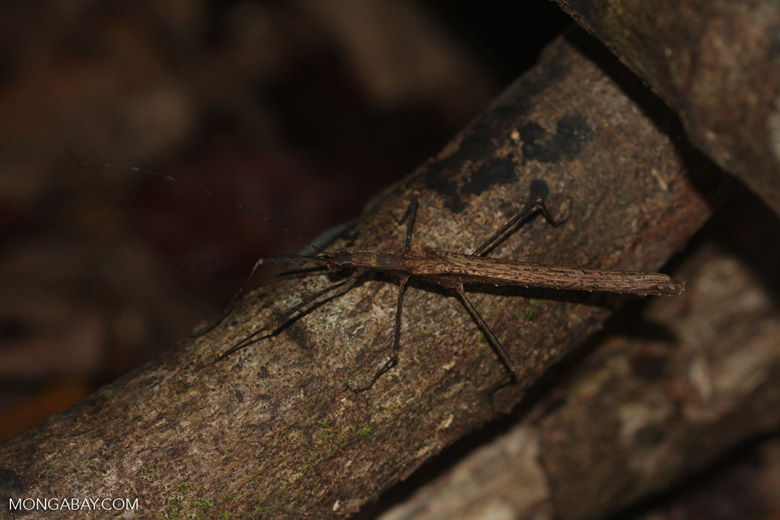 Pseudophasma unicolor stick insect [costa-rica-d_0421]