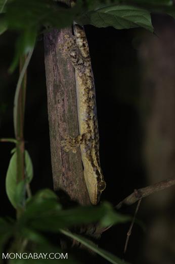 Thecadactylus rapicauda gecko [costa-rica-d_0427]