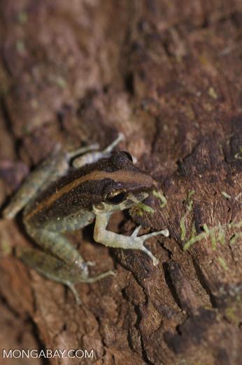 Rain frog [costa-rica-d_0439]