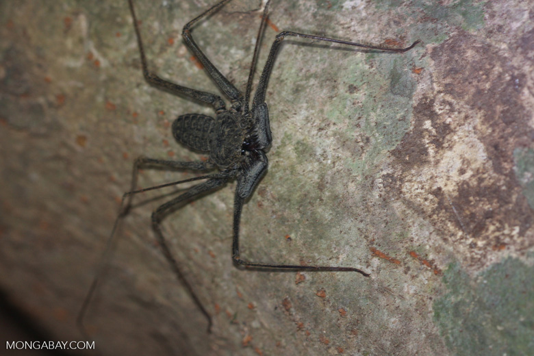 Tail-less whip scorpion [costa-rica-d_0445]