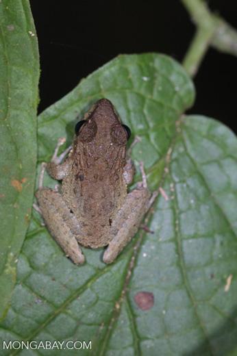 Rain frog [costa-rica-d_0451]