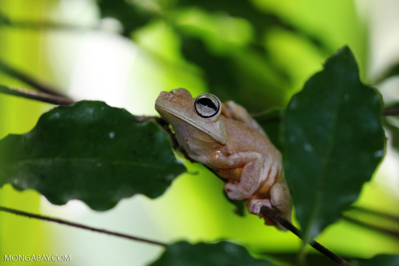 Gladiator Frog (Hyla rosenbergi)