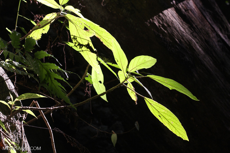 Leaves of a rainforest shrub catching an edge of sunlight