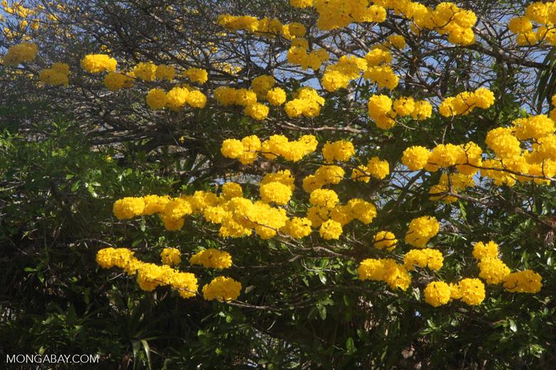 Striking yellow flowers of the Corteza Amarilla (Tabebuia ochracea) in bloom