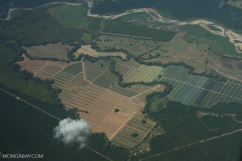 Overhead view of oil palm plantations in Costa Rica