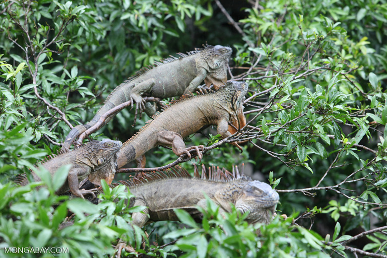 Group of green iguanas in a tree [costa-rica_0006]