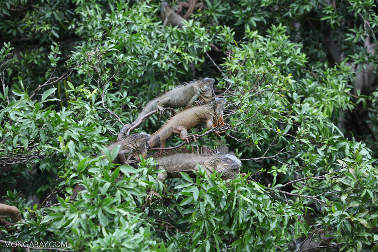 Group of green iguanas in a tree [costa-rica_0007]