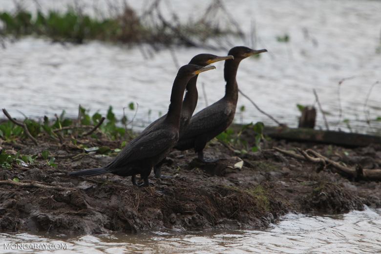 Neotropical cormorants in a line [costa-rica_0041]