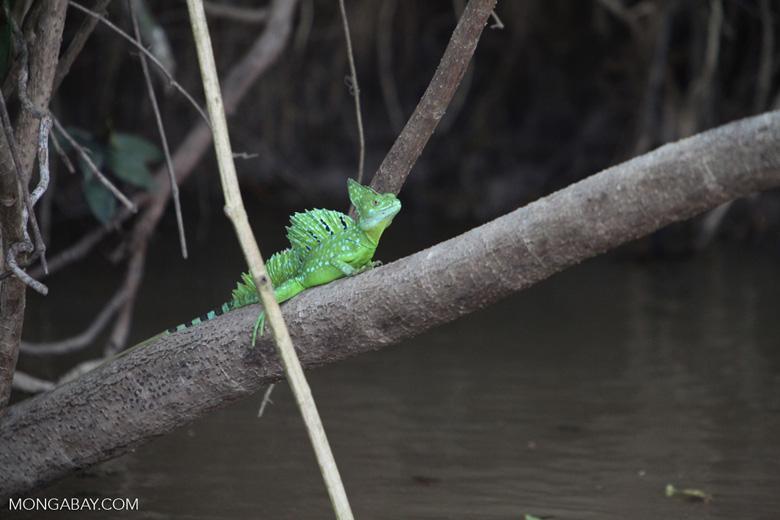 Green Basilisk (Basiliscus plumifrons) [costa-rica_0064]