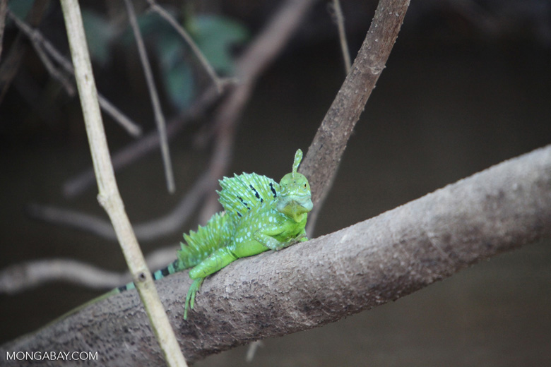 Common Green Basilisk (Basiliscus plumifrons) [costa-rica_0067]