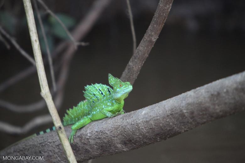 Common Green Basilisk (Basiliscus plumifrons)