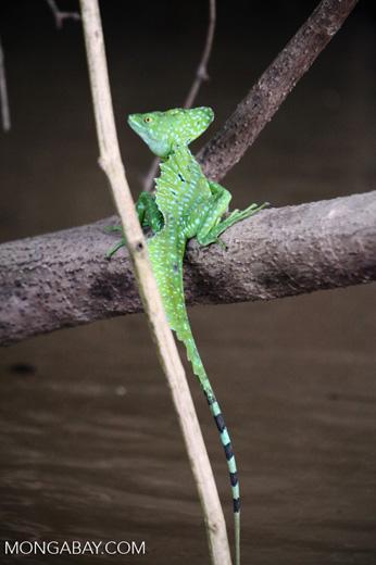 Common Green Basilisk (Basiliscus plumifrons) [costa-rica_0071a]