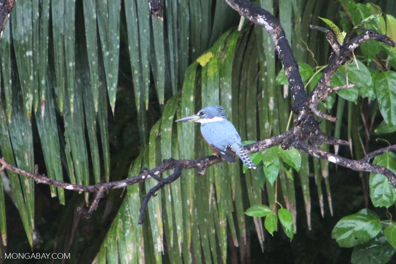 Ringed Kingfisher (Megaceryle torquata) [costa-rica_0102]