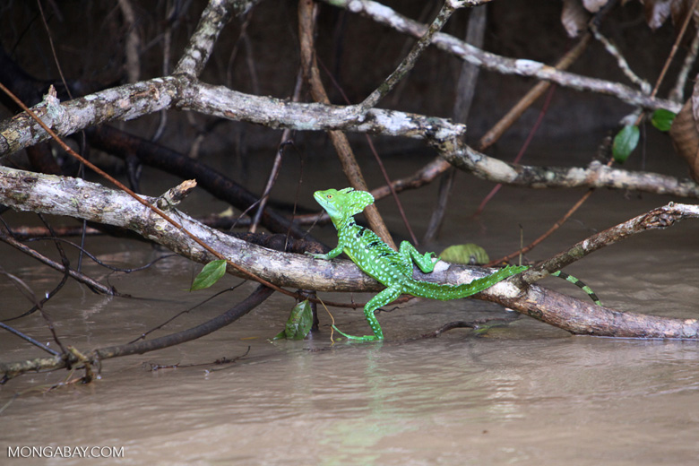 The Green Basilisk (Basiliscus plumifrons) is found on the Atlantic slope of Costa Rica