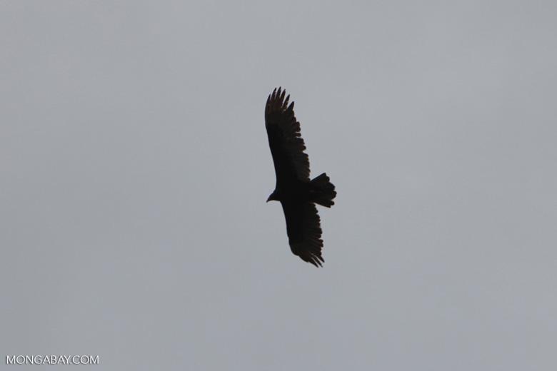 Vulture in flight [costa-rica_0138]