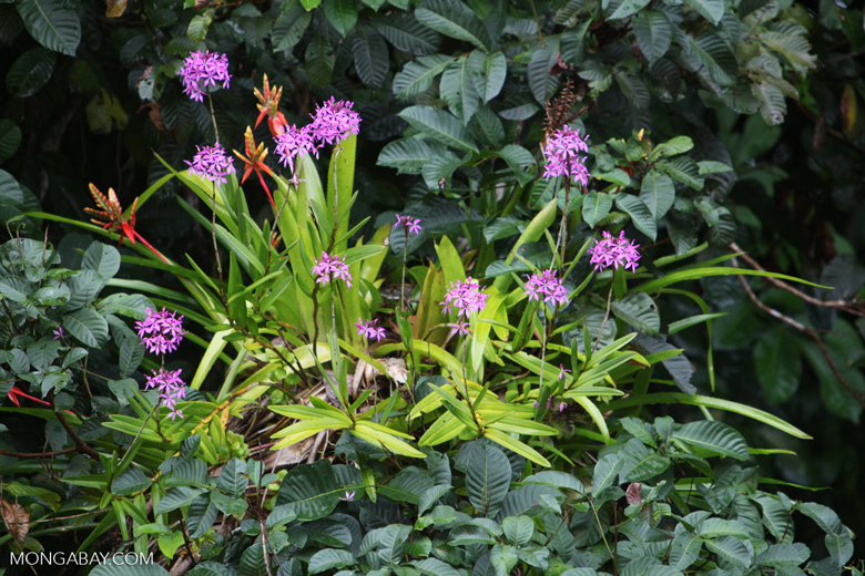 Flower bromeliad and lavendar orchids in Costa Rica