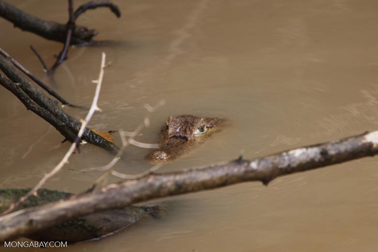 Common Caiman (Caiman crocodilus)
