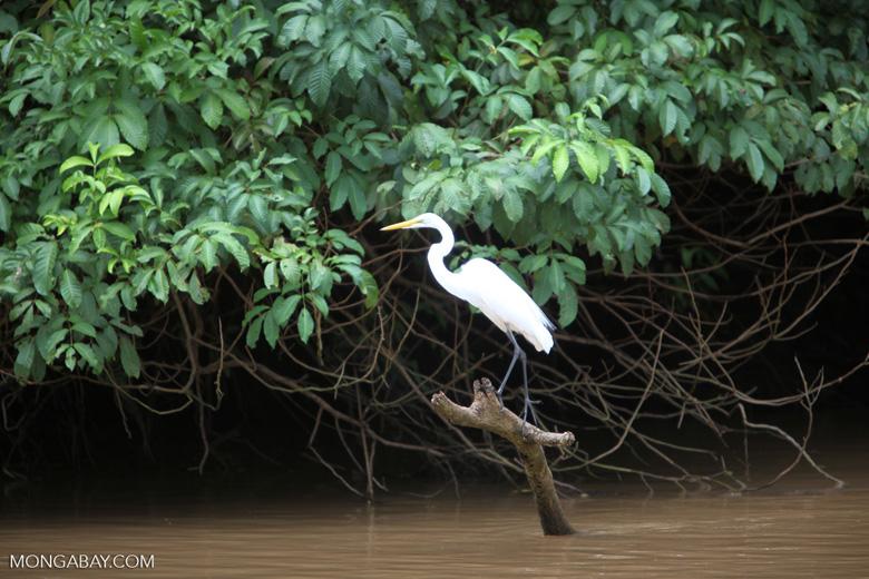 Common Egret (Ardea alba)