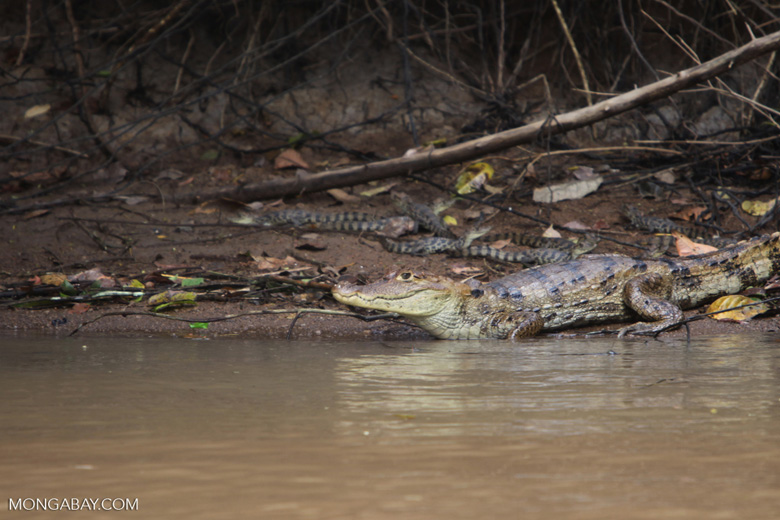 Mother caiman protecting her young