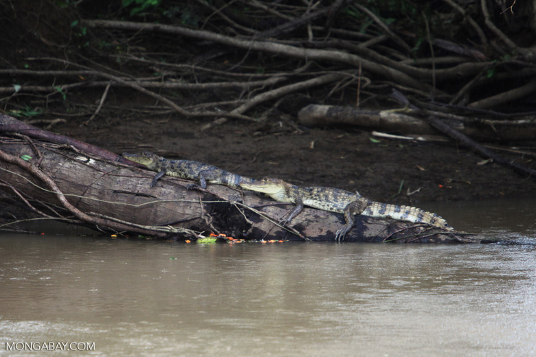 Pair of caiman on a log
