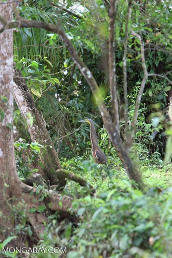 Bare-throated Tiger Heron (Tigrisoma mexicanum) [costa-rica_0232]