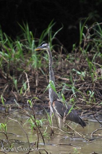 Bare-throated Tiger Heron (Tigrisoma mexicanum)