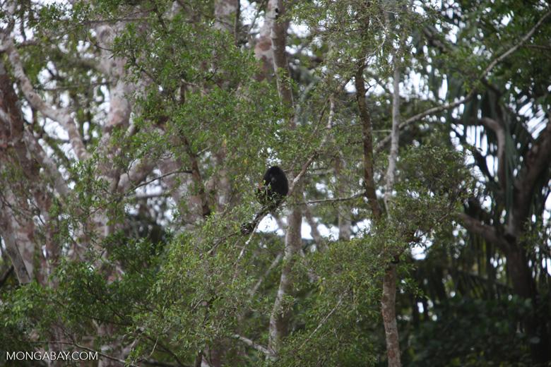 Black Howler Monkey (Alouatta palliata) [costa-rica_0254]