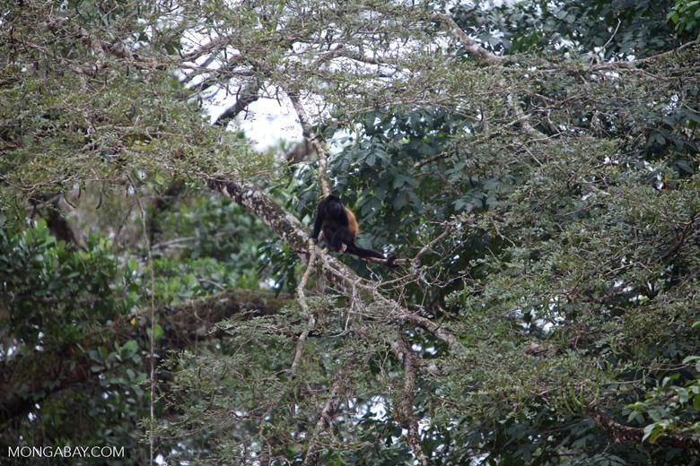 Black Howler Monkey (Alouatta palliata) [costa-rica_0255]