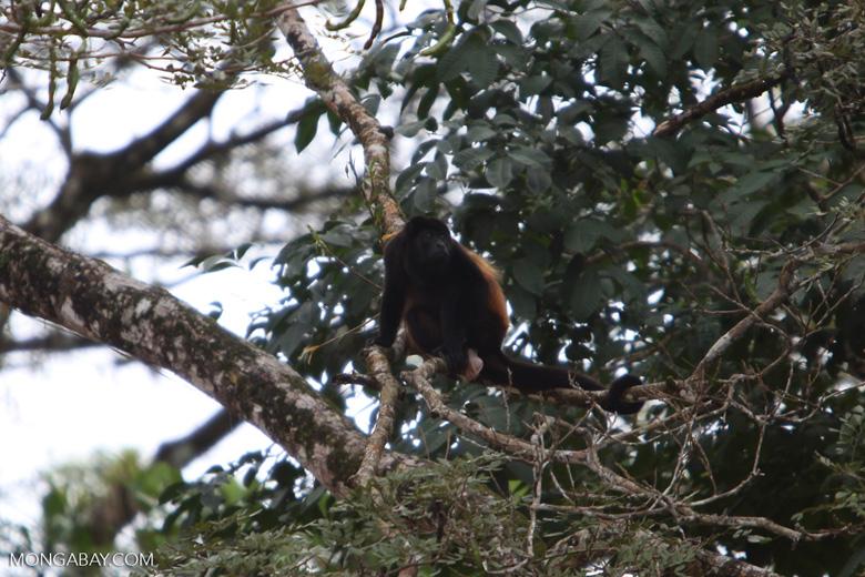 Black Howler Monkey (Alouatta palliata) [costa-rica_0261]