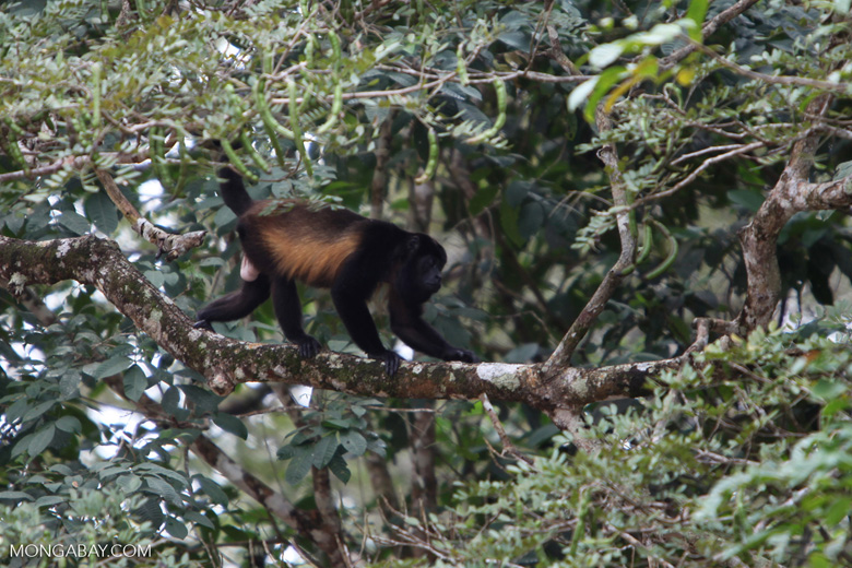 Black Howler Monkey (Alouatta palliata)