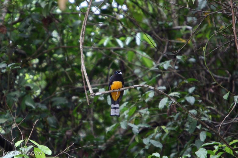 Black-headed trogon (Trogon melanocephalus) [costa-rica_0272]