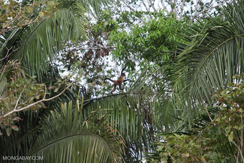 Spider monkey (Ateles geoffroyi ornatus) [costa-rica_0294]
