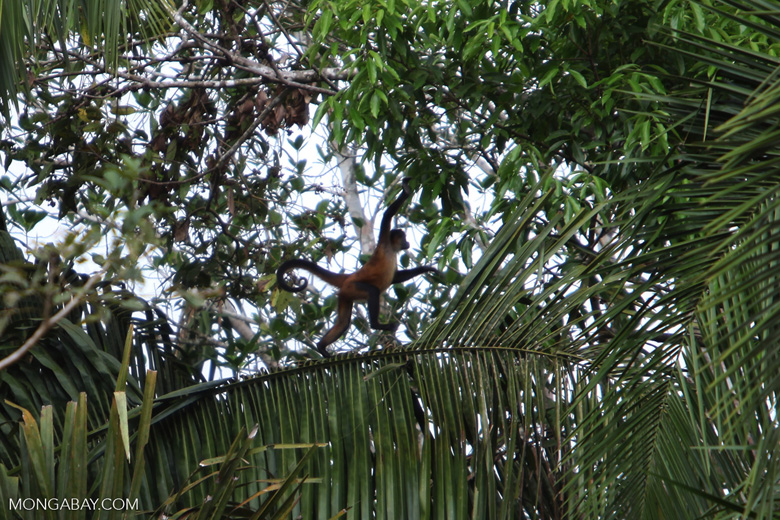 Spider monkey (Ateles geoffroyi ornatus)