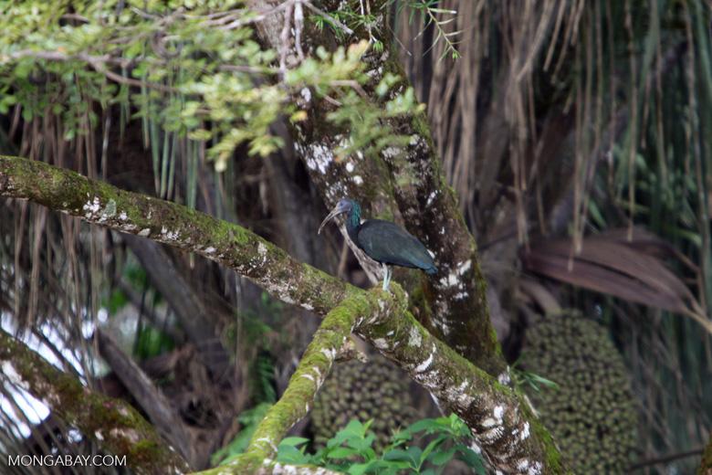 Green Ibis (Mesembrinibis cayennensis)