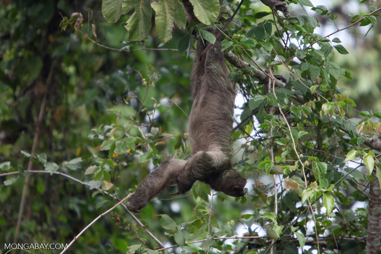Pale-throated Three-toed Sloth (Bradypus tridactylus)