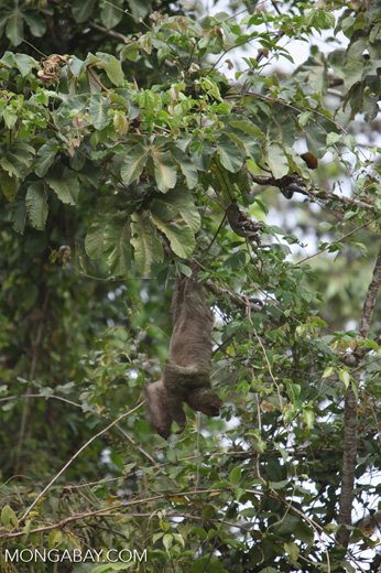 Pale-throated Three-toed Sloth (Bradypus tridactylus) [costa-rica_0325]