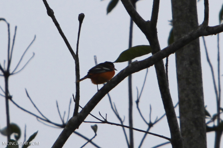 Red-breasted Blackbird (Sturnella militaris) [costa-rica_0357]