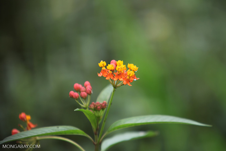 Orange and yellow flowers of the Banderita Espanola Orchid (also known as the Fire Star Orchid)