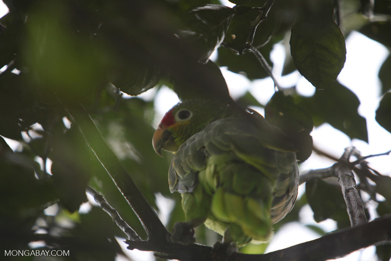 Red-lored parrot (Amazona autumnalis)