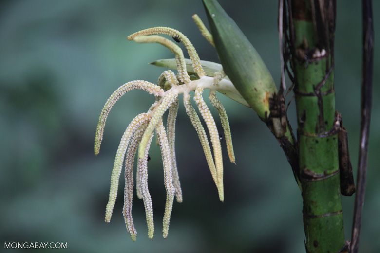 White palm flowers